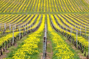 The Vineyards Cover Crop